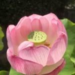 永代供養墓のある法泉寺さんに蓮の花